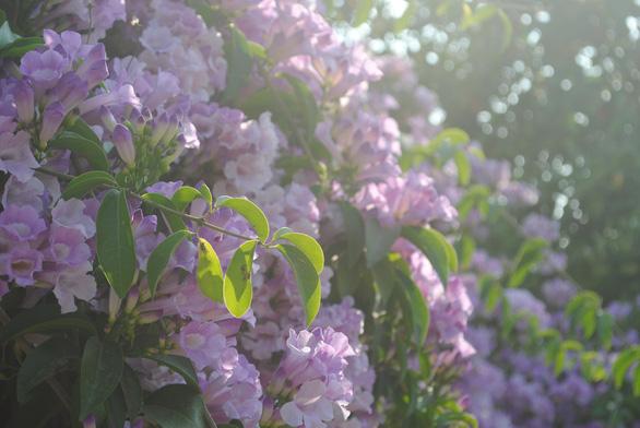 Ngất ngây giàn hoa tỏi được bạn trẻ 'check in' tại Sa Đéc - Ảnh 6.