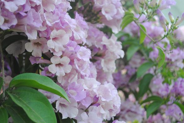 Ngất ngây giàn hoa tỏi được bạn trẻ 'check in' tại Sa Đéc - Ảnh 7.